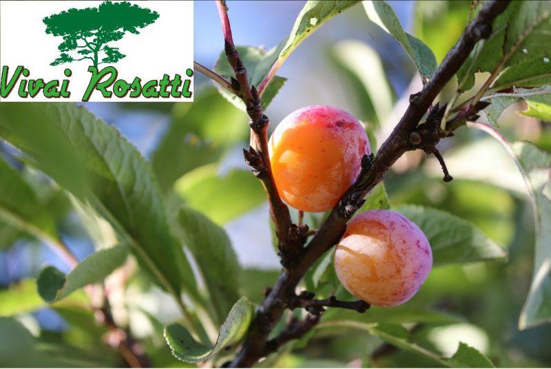 offerta produzione e vendita alberi di susine - promozione acquisto varietà piante di susine