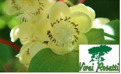 offerta produzione alberi di actinidia promozione produzione alberi di kiwi