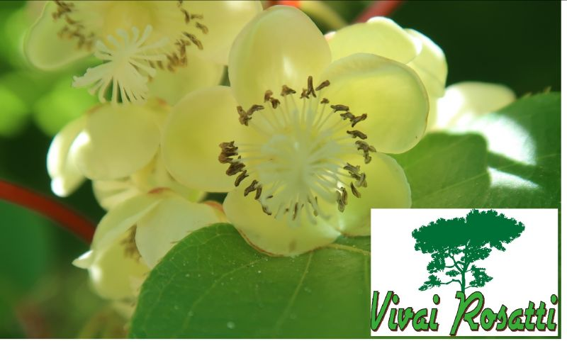 Offerta produzione alberi di Actinidia - promozione produzione alberi di kiwi