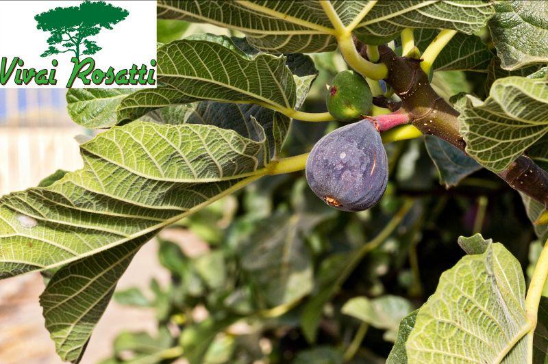 offerta dove acquistare piante di fico - occasione produzione e vendita alberi di fico