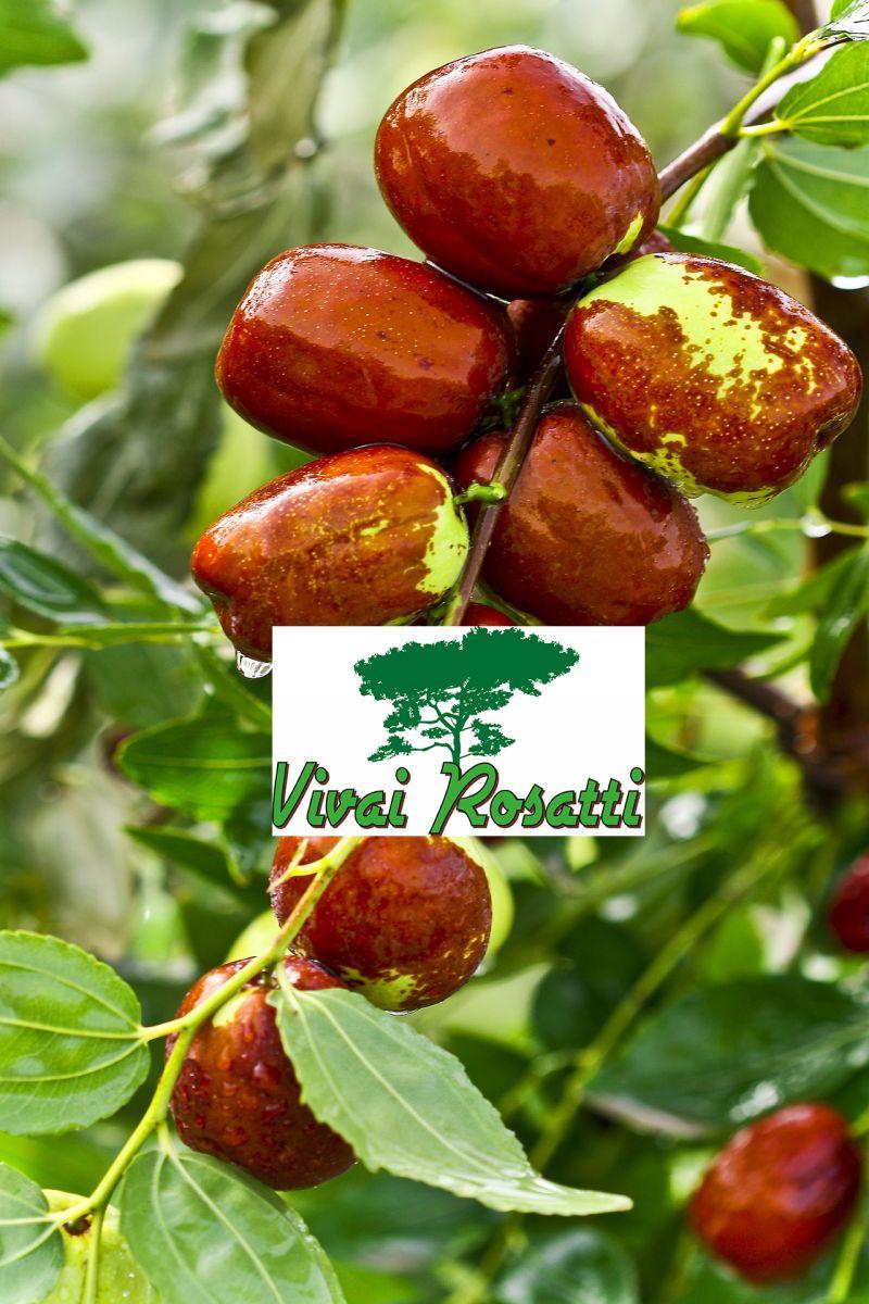 offerta dove acquistare piante di giuggiolo - occasione produzione e vendita alberi di giuggiolo