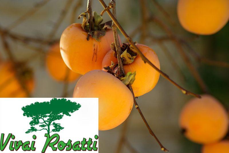 offerta dove acquistare piante di kaki - occasione produzione e vendita alberi di kaki