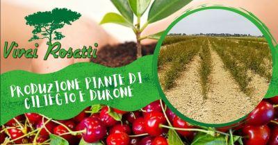vivai rosatti offerta azienda specializzata nella produzione piante di ciliegio e durone