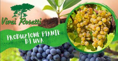offerta i migliori fornitori di piante di uva da tavola occasione produzione piante di uva da vino italia