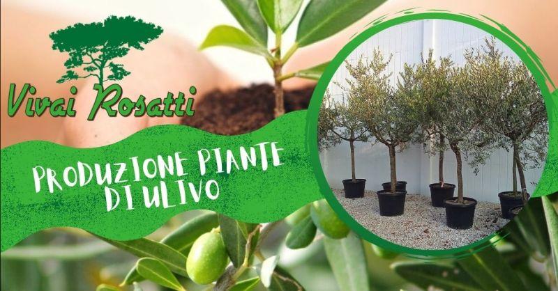 VIVAI ROSATTI - Offerta la migliore azienda produttrice di piante di Ulivo di qualità in Italia