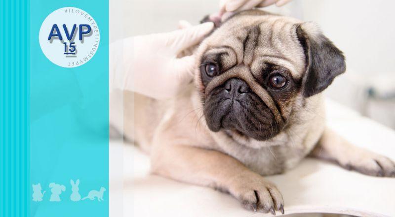 Ambulatorio Veterinario Pertusella  - Offerta valutazione dei disturbi orecchio cane – promozione malattie dell'orecchio gatto varese