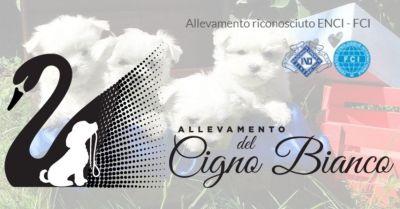 allevamento del cigno bianco trova allevamento certificato yorkshire maltesi bulldog inglesi