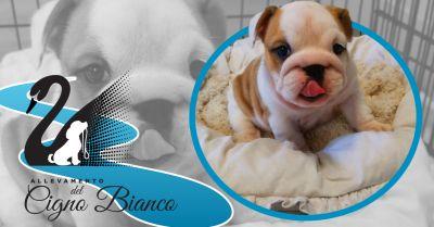 offerta allevamento cani razza bulldog inglesi occasione allevamento enci bulldog inglese lombardia
