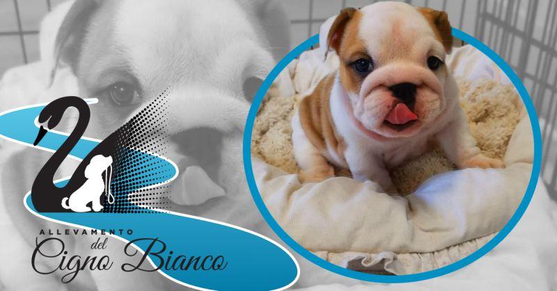 Offerta Allevamento cani Razza Bulldog Inglesi - Occasione allevamento enci Bulldog Inglese Lombardia
