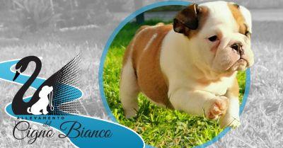 offerta cuccioli disponibili di bulldog inglese lombardia occasione allevamento certificato enci bulldog inglesi