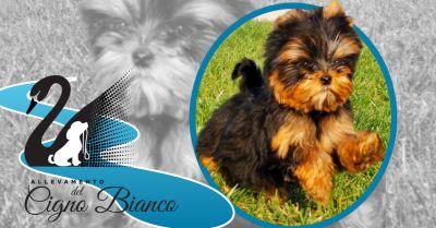 offerta cuccioli disponibili di yorkshire lombardia occasione allevamento certificato enci yorkshire