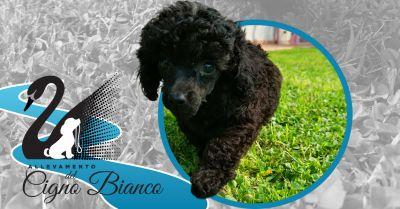 offerta cuccioli disponibili di barboncino lombardia occasione allevamento barboncino certificato enci