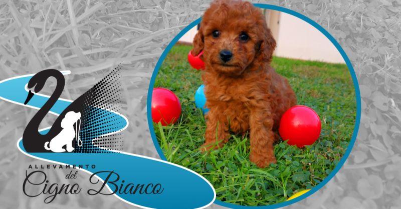 Offerta Allevamento Barboncini con pedigree Lombardia - Occasione Cuccioli con pedigree Barboncino