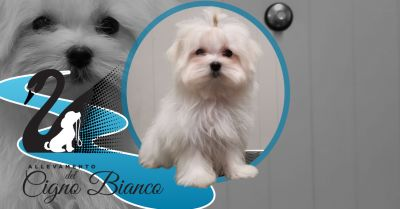trova il migliore allevamento di cani di razza maltese offerta allevamento maltese enci lombardia