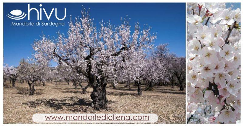 Hivu di Giorgio Carente Shop - offerta evento fioritura mandorli autoctoni sardi