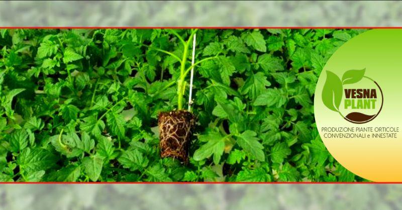 VESNA PLANT - Offerta vendita piante innestate da orto ragusa