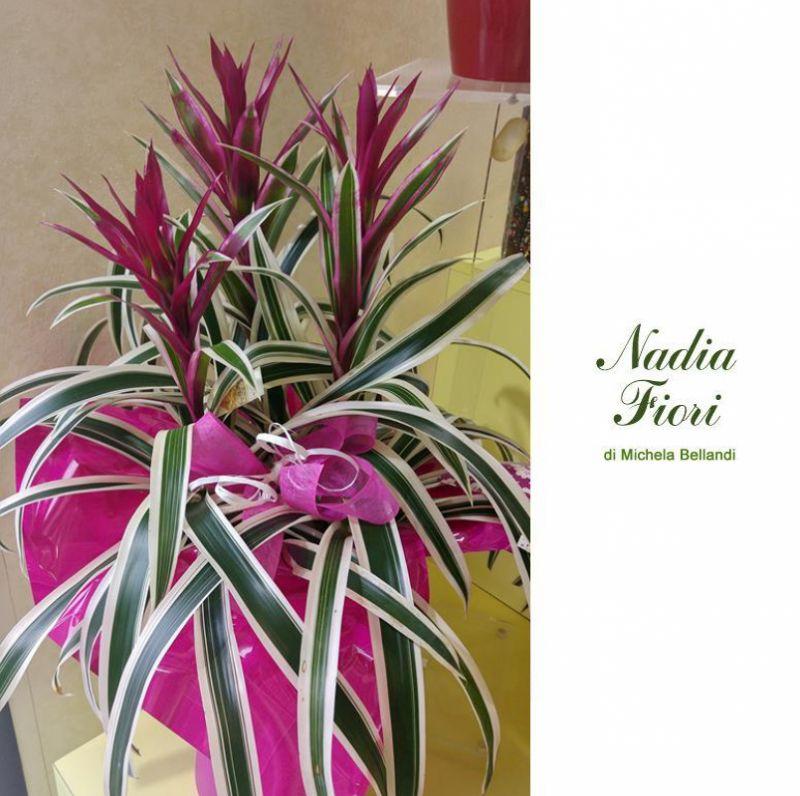 offerta guzmania brescia promozione fiori domicilio brescia nadia fiori