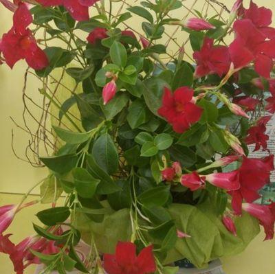 offerta dipladenia rossa brescia promozione fiorista brescia nadia fiori