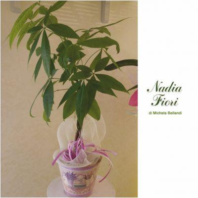 offerta pachira intrecciata glabra promozione malvaceae nadia fiori brescia
