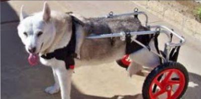 riabilitazione cani sedia a rotelle cani 101 market