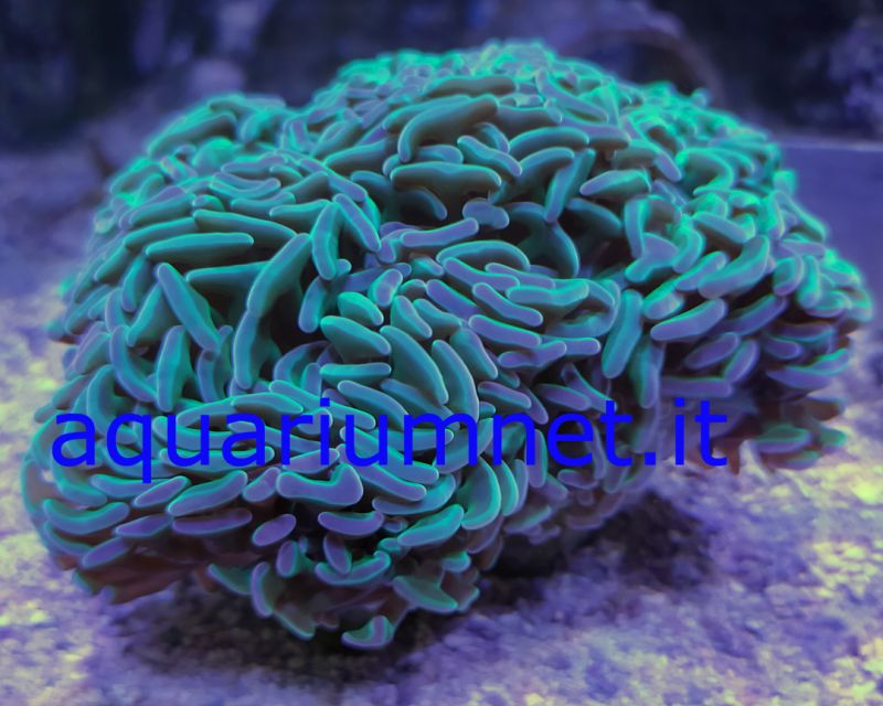 AQUARIUM - Euphyllia ancora full green dimensione 12 14 cm