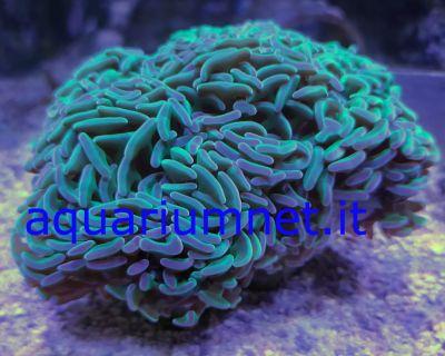 aquarium euphyllia ancora full green dimensione 12 14 cm