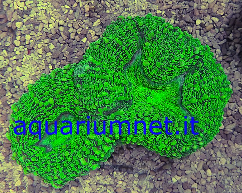 AQUARIUM - Lobophyllia metallic green diametro 9-10 cm circa