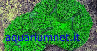 aquarium lobophyllia metallic green diametro 9 10 cm circa