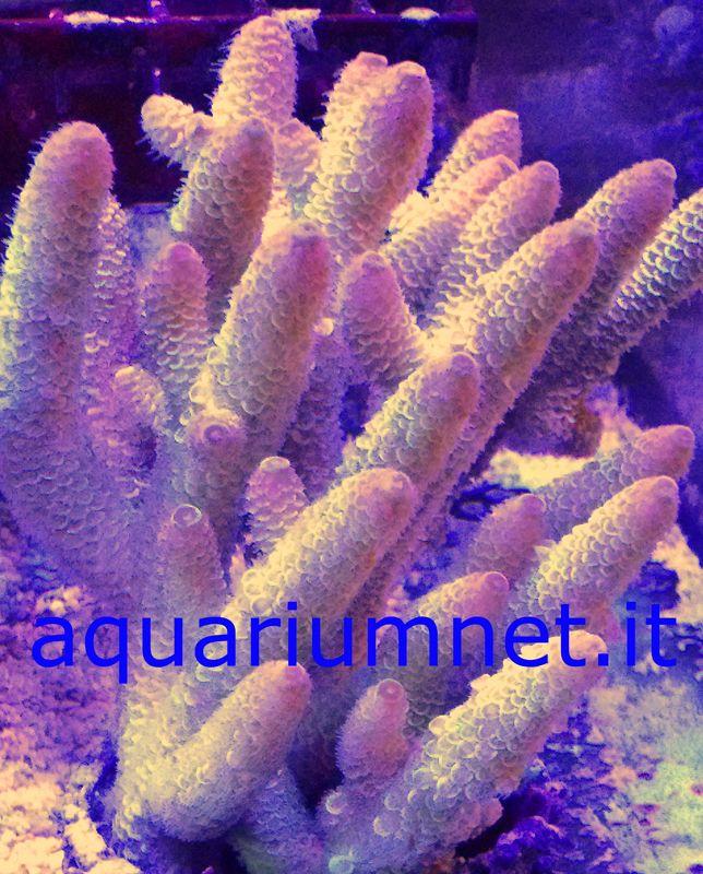 AQUARIUM - Acropora Spathulata wild altezza cm 16