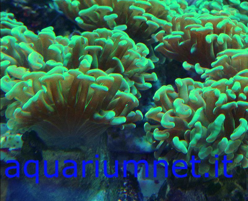 AQUARIUM - Euphyllia Ancora talee diametro 6-7 cm