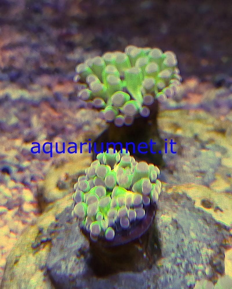 AQUARIUM - Euphyllia paradivisa  green ultra una testa