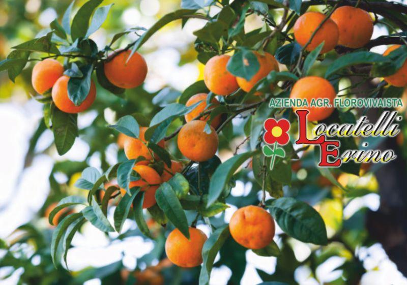 offerta rivenditori alberi da frutto antichi-promozione vendita piante da frutto e mini frutti