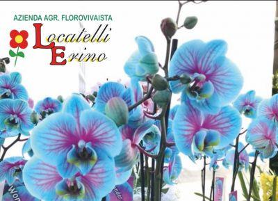 offerte orchidee paphiopedilum promozione vendita orchidee phalaenopsis