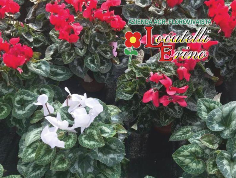 offerta vendita violette fiori d inverno-promozione rivenditore piantine di erica