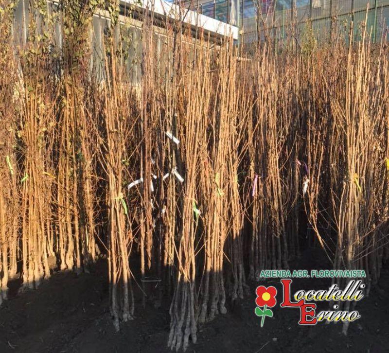 AZIENDA AGRICOLA FLOROVIVAISTA LOCATELLI piante da frutto a radice nuda – pianta radice scossa