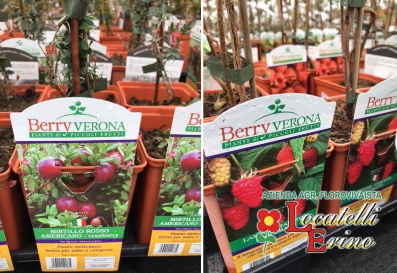 AZIENDA AGRICOLA FLOROVIVAISTA LOCATELLI offerta vendita piante di piccoli frutti – mini frutti
