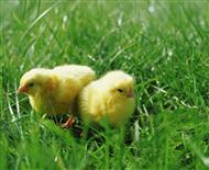 giornata del pulcino 2015 all 39 agraria roiatti scopri i dettagli e prenota il tuo pulcino