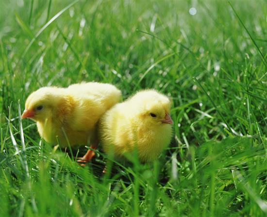 Giornata del pulcino 2015 all'Agraria Roiatti - Scopri i dettagli e prenota il tuo Pulcino